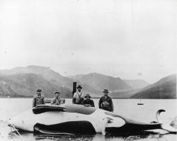 Male killer whale, 27 feet long, on flensing deck at Akutan Whaling Station Photo