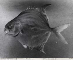 Juvenile round pompano (Trachinotus falcatus), 5.95 cm standard length. Photo