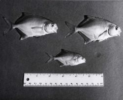 Young pompano (Trachinotus carolinus) used in fish farming experiment at Fort De Soto Park. Photo