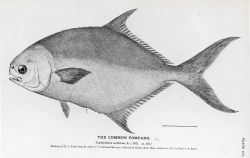 Drawing of the common pompano (Trachynotus carolinus) by H Photo