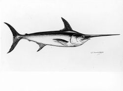 Broadbill swordfish (Xiphias gladius) Photo