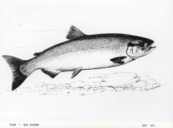 Drawing of red salmon by G Photo