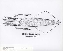 Drawing of common squid (Loligo pealei) Photo