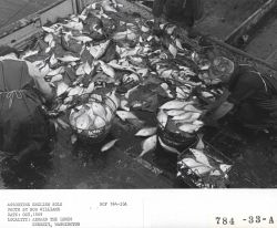 Sorting English sole aboard the fishing vessel LEMES Photo