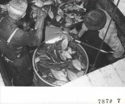 Shoveling fish into buckets for offloading F/V LEMES and processing at Everett Fish Company Photo