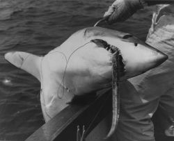 Mako shark caught on rigged eel off Nomans Island, Massachusetts. Photo