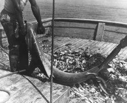 A large hammerhead shark caught in shrimp trawl net. Photo