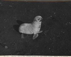 Albino fur seal pup at Gorbatch Rookery Photo
