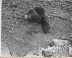 Fur seal cow with newly born pup at Kitovi Rookery Photo