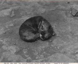 Fur seal pup at Morjovi Rookery Photo