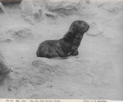 Fur seal pup Photo