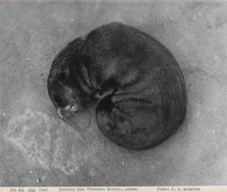 Sleeping fur seal pup ato Vostochni Rookery Photo