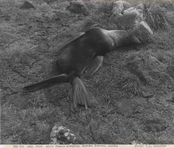 Adult female fur seal sleeping at Zapadni Rookery Photo