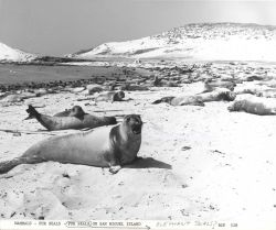 Elephant seals hauled out on San Miguel Island Photo