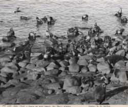 Harem group on rock beach Photo
