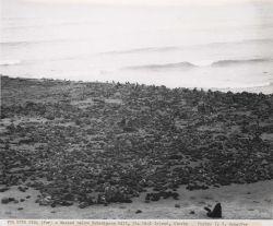 Fur seals massed below Hutchinson Hill Photo
