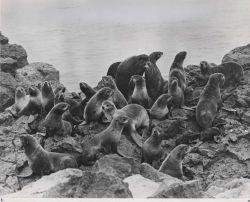 Fur seal harem Photo
