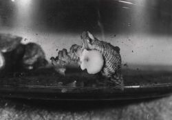 Oyster drill (Urosalpinx cinerea folliensus) depositing egg capsule on tank wall Photo