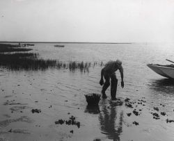 On the shallow mud flats, oyster fishermen collect small oysters which are then replanted in areas better suited for fast growth. Photo