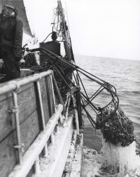 Oyster dredge coming aboard the skipjack J Photo