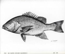 Drawing of red snapper (Lutjanus blackfordii) drawn by G Photo