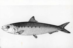 Drawing of a California sardine (Sardinia caerulea) Photo