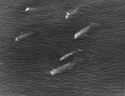 A pod of whales Photo