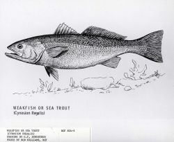 Drawing of weakfish or seatrout ((Cynosion regalis) by G Photo