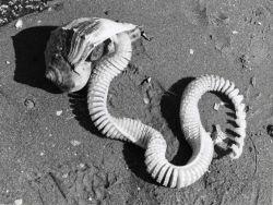 Knobbed whelk laying eggs Photo
