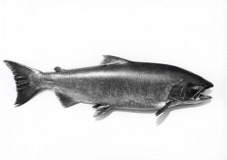 Chinook salmon (Onchorhynchus tshawytscha) Photo
