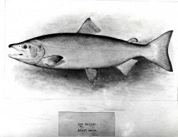 Red salmon, or sockeye, adult male (Onchorhynchus nerka) Photo