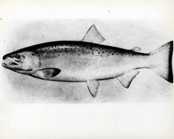 Adult male silver or coho salmon (Onchorhynchus kisutch) Photo