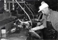Cleaning salmon at the Bumble Bee Co. Photo