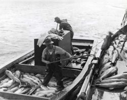 Salmon being transferred from small boat to large boat on which they are iced and hauled to cannery. Photo