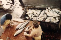 Hand cleaning silver salmon at the Alaska Frozen Products plant at Anchorage Photo