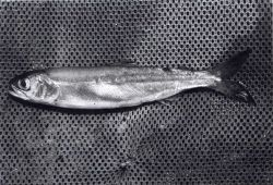 Sockeye salmon smolt Photo