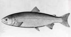 Silver salmon (Onchorhynchus kisutch) from original drawing by S Photo