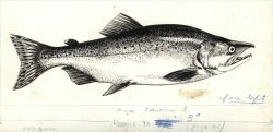 Pink salmon (Onchorhynchus gorbuscha) drawn by G Photo