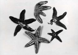 Starfish injured by particles of lime which either fall on their surfaces or over which they crawl. Photo