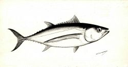 Art - Drawing of albacore (Thunnus germo) Photo