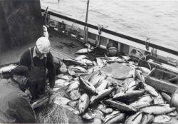 Albacore tuna taken by gillnet aboard the FWS vessel JOHN N Photo