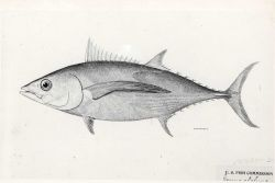 Drawing of albacore tuna (Germo alalunga) Photo