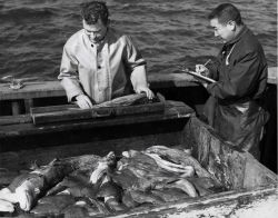 Biologists measuring cod fish at sea Photo