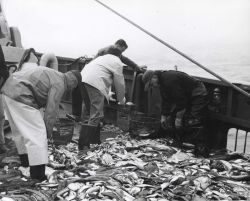Sorting catch following successful trawl on the ALBATROSS IV Photo