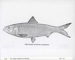 Art - The inland alewife or skipjack (Clupea chrysochloris) Photo