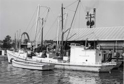 Alewife fishing - Boats waiting to unload at Haynie Cannery Photo