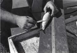 Alewife research - Collecting alewife aboard VIMS ferryboat LANGLEY. Photo