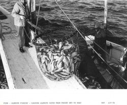 Alewife fishing - Loading alewife catch from pocket net onto F/V MUNDY POINT Photo