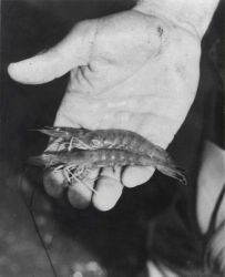 Shrimp weighing 13.5 (about 30 per pound) grams were harvested from Texas A & M Sea Grant Mariculture Program ponds in October 1972. Photo