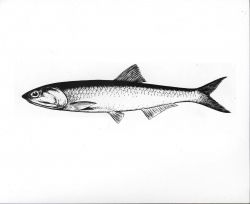 Drawing of northern anchovy Photo